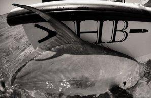Gilfish08