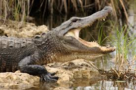 Gator033
