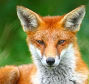 FoxGator